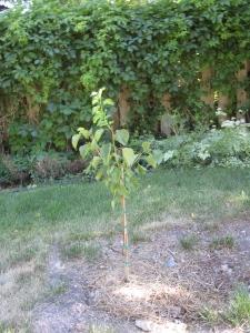 a new apricot tree