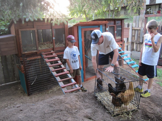 We transferred the chickens in the early evening, so they went directly into the coop and were locked up for the night while they adjusted to the sounds and smells of the new surroundings.